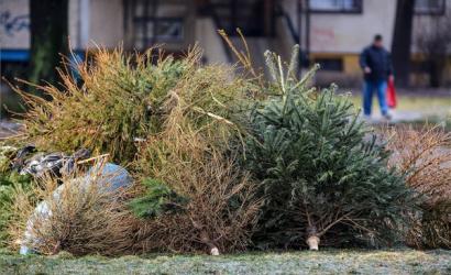 Jövő héttől kezdődik a karácsonyfák elszállítása