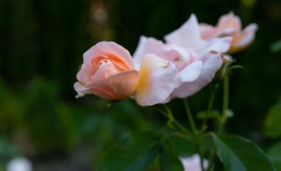Őszi szépség rózsaszirmokba rejtve
