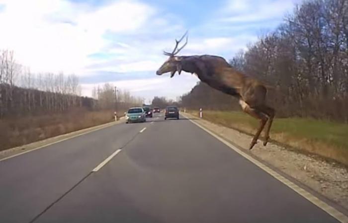 Országosan növekszik a vadak okozta közúti balesetek száma