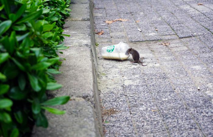 Elkezdődött a patkányirtás a városban