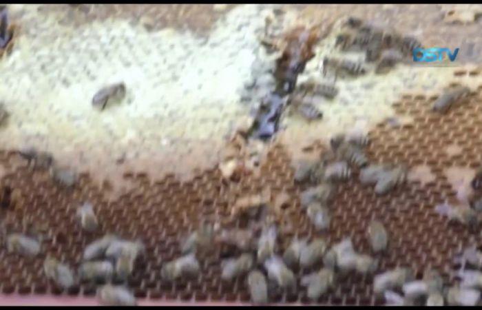 Embedded thumbnail for Szép és hasznos tevékenység a méhészet