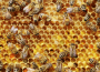 Szlovákiában a dolgozó méhek gyakran csak egy hétig élnek